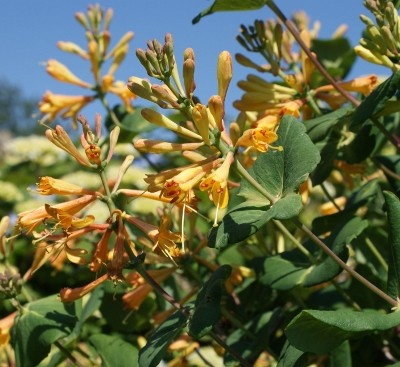 Lonicera x brownii 'Toison D'Or'