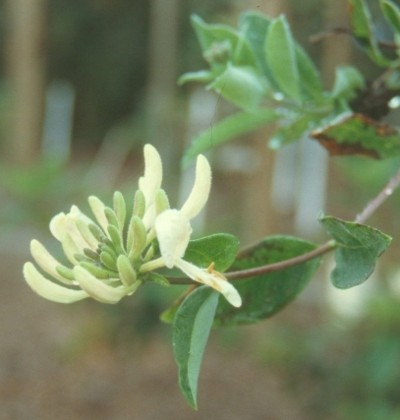 Lonicera periclymenum 'Loly'